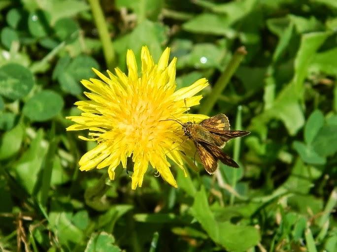 Hobomok moth.jpg