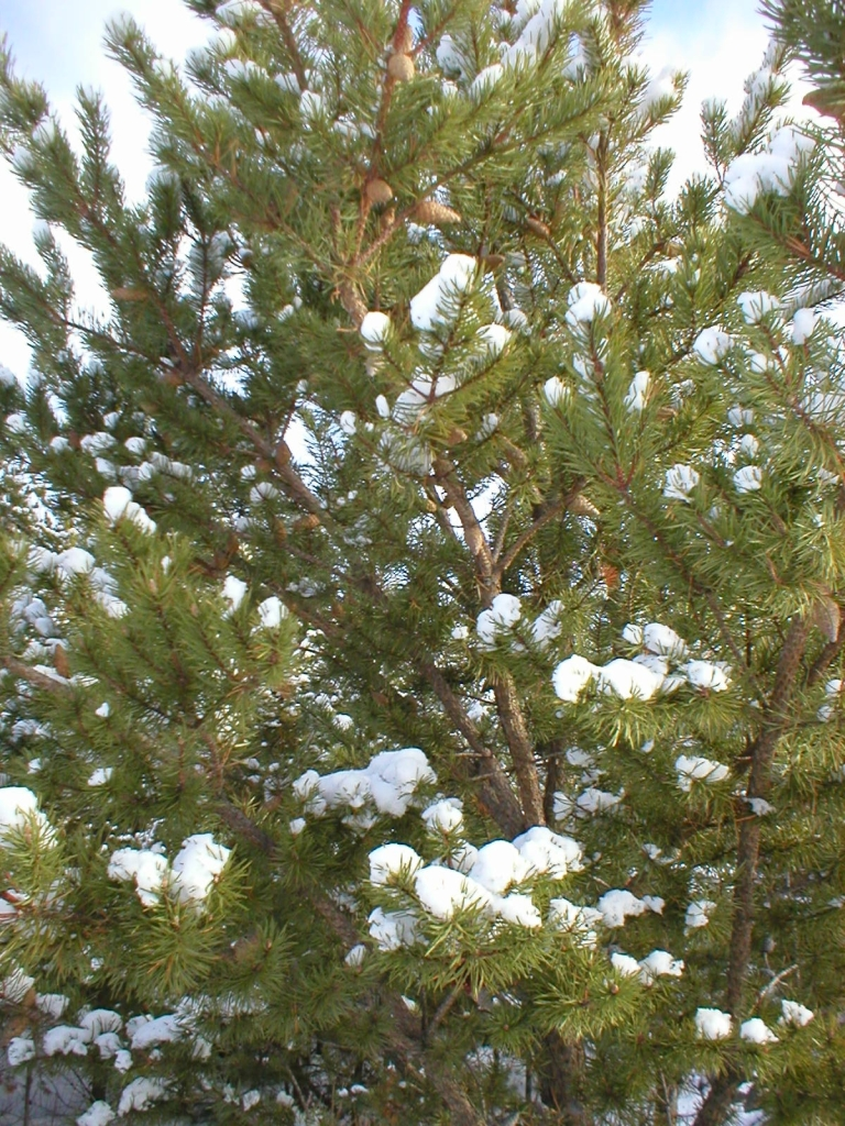 White Pine is a native tree in the eastern United States. Known for five needles.